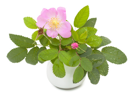 roze: Branch of dog rose with leaves, flower and  one bud in a ceramic flower vase. Isolated on white background. Close-up.