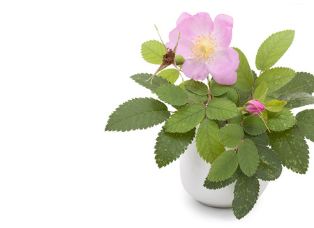 roze: Branch of dog rose with leaves, flower and one bud in a ceramic flower vase. Isolated on white background, copyspace. Close-up.