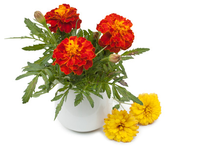 pot marigold: Dark red marigolds flowers in a ceramic vase, flowerpot and small summer chrysanthemums. Isolated on white background, close-up and blank place for your text.