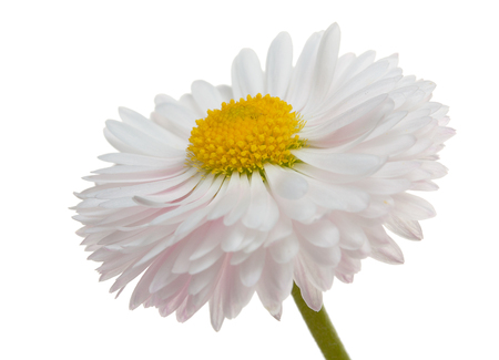 Flower of white daisy isolated on a white