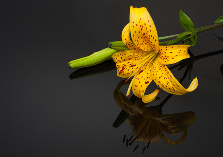 Beautiful yellow Tiger Lily with mirroring over black background. Stock Photo