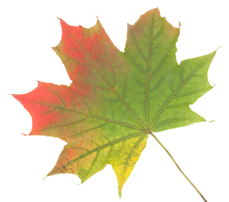 calendario octubre: Colorful autumn maple leaf, isolated on white background, close-up, top view.
