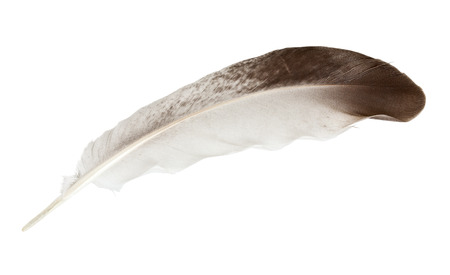 Color feather of dove, isolated on white background. Close-up.