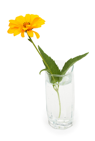 osteospermum: Orange Osteospermum Daisy or Cape Daisy flower in a glass of water. Isolated over white background.
