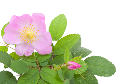 roze: Branch of dog rose with leaves, flower and  one bud. Isolated on white background. Close-up.