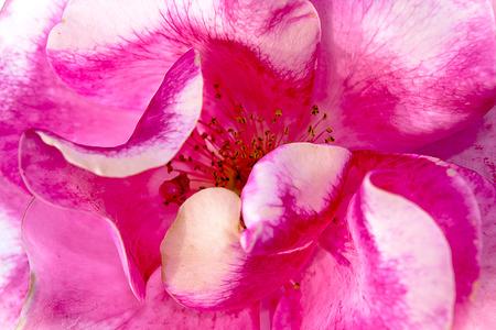 Very beautiful flower of wild rose