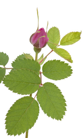 roze: Branch of dog-rose with leaf and one bud. Isolated on white background. Close-up.