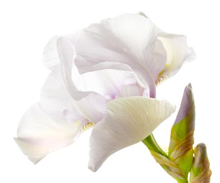 botanics: Flower of a white iris isolated on a white background close up. Stock Photo