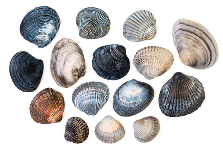 mollusc: Set of sea clam mollusc shells of scallop, isolated on white background, close up, top view. Stock Photo