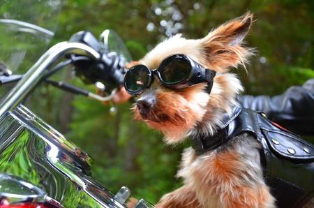 バイク犬 写真素材