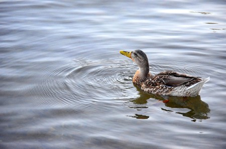 duck swimming photo