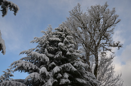 Snowy Tree photo
