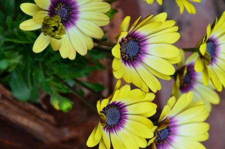 on yellow daisy: yellow daisy Stock Photo