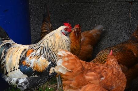 Chicken Gathering Stock Photo