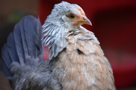 leg horn chicken