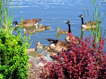 geese hang out