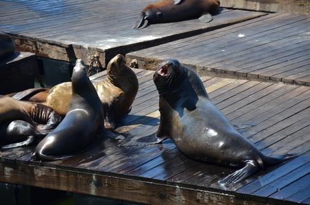 sea lions gathering Фото со стока