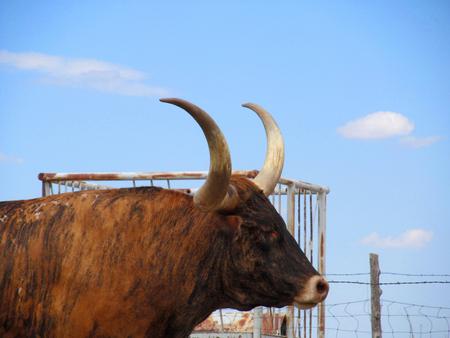 texas longhorn close up