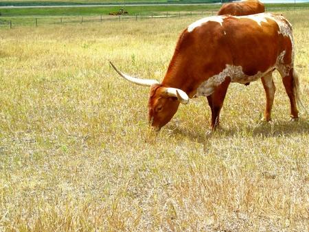 texas longhorn eating the grass.