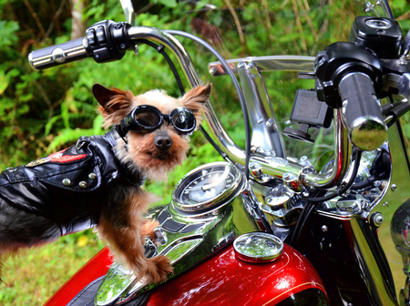 dog riding motorcycle Stock Photo