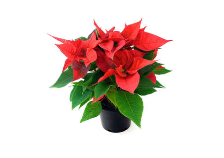 Poinsetta in pot isolated on white background photo