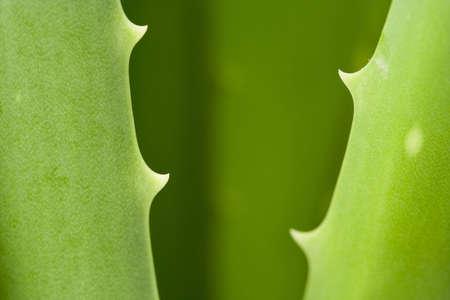 Closeup picture of aloe vera plant Stock Photo - 4623984