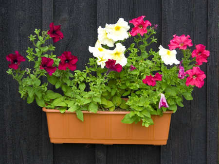 Petunias in pot hanging on black wooden wall
