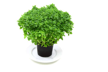 fresh basil in pot isolated on white background  Stock Photo