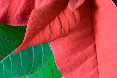 Poinsettia leaves as a red and green background Stock Photo - 5307062