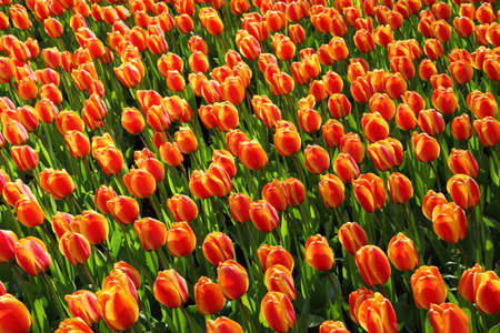 background image from orange red tulips Stock Photo - 6959749