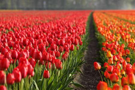 bloembollenvelden: Tulpenvelden in Nederland Stockfoto
