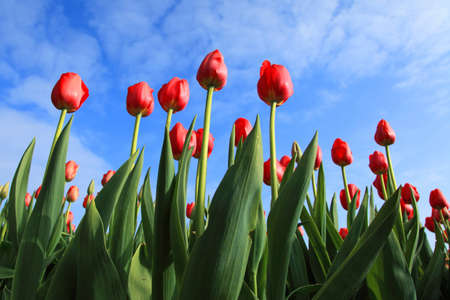 red tulips against blue sky with some clouds Stock Photo