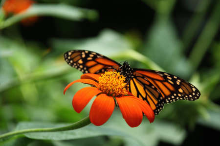 monarch butterfly on mexican sunflower  Stock Photo - 7133473
