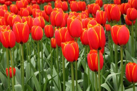 red tulip background image Stock Photo