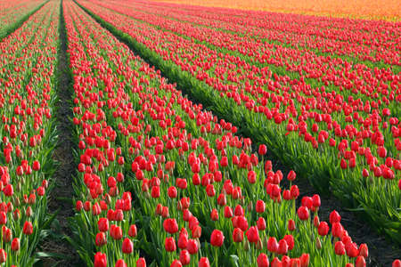 red and orange tulip fields in Holland Stock Photo - 7154847