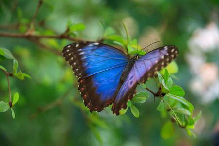mariposa azul: Blue Morpho Butterfly - Morpho Peleides sentado en la hoja verde  Foto de archivo