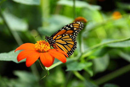 Monarch butterfly feeding Stock Photo - 7253069