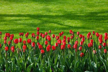 line of red tulips with green grass background