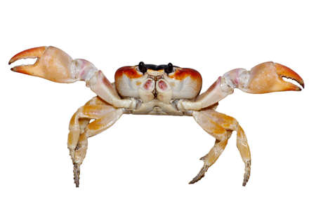 small crab isolated on white background