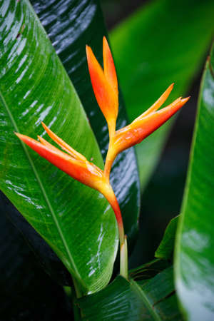 wet red heliconia flower with green leaves in the background Stock Photo