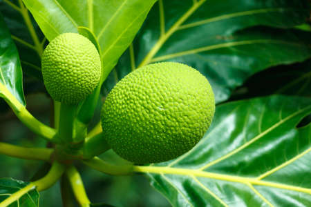 green breadfruit