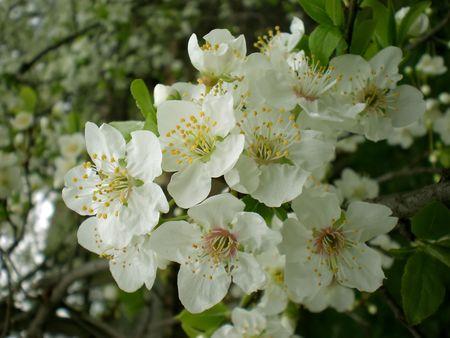 blossom Stock Photo - 3098171