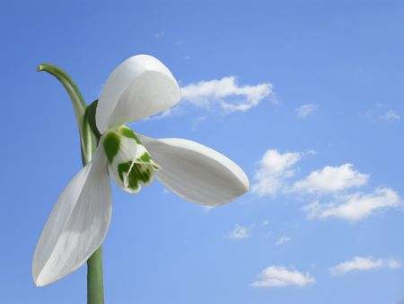 snowdrop on sky background   photo