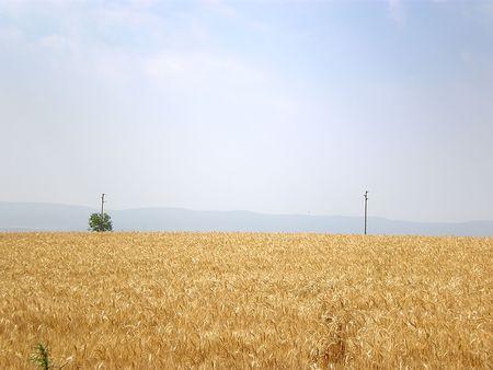 wheat field Stock Photo - 3261330