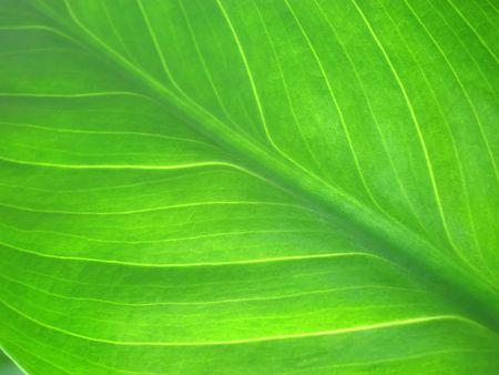 vivifying: green leaf macro