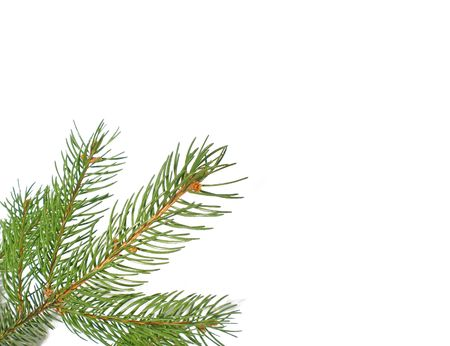 matte: pine  branch isolated on white background
