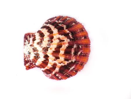 a beautiful shell isolated on white background photo