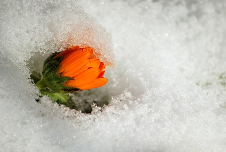 spring is coming flower growing up the snow