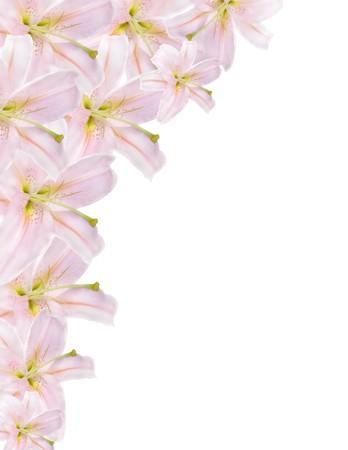 lilium: pink lilium border isolated on white background