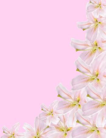 lilium: pink lilium border isolated on pink background